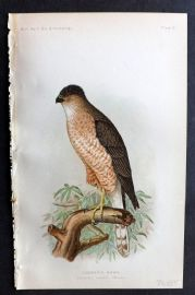 Ridgway 1893 American Bird Print. Copper's Hawk 05